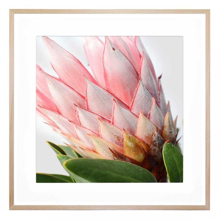 Protea Blushe - Print
