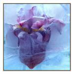 Petal And Ice - Print