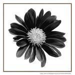 Gerbera Noir - Print