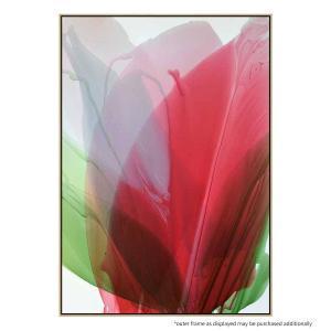 Red Amaryllis - Print